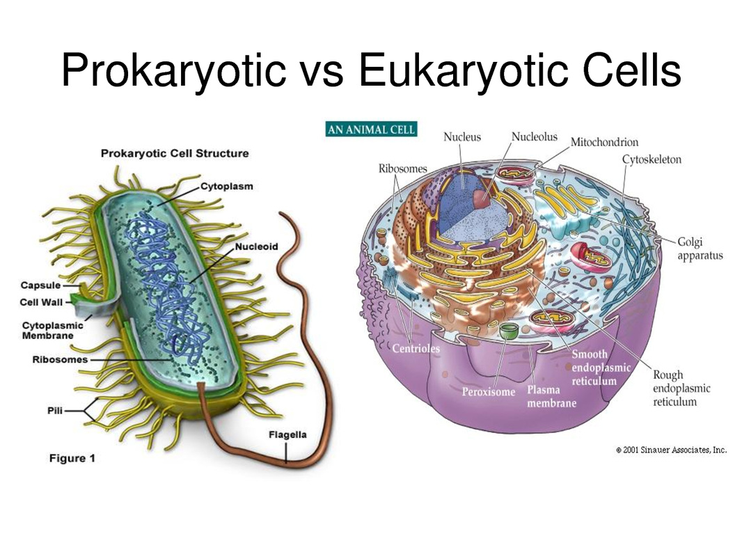 Cell Biology Ms Mastros Website – Prokaryotic and Eukaryotic Cells Worksheet